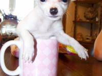Gorgeous female chihuahua puppy will be 8 weeks old and