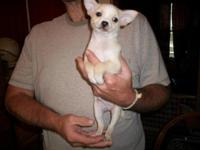 Chihuahua pup ready for his new forever home. 1 males