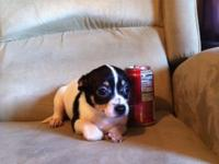 Women chihuahua doggie Born October 29, 2013 and
