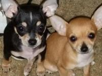 I have two female pups available. The tan one is will