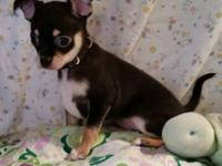 """Todd"" ""Tim"", are 2 Male Chihuahua brothers, black &"