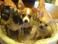 Born June 30, 2012 I have a litter of 3 male pure bred