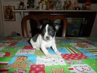 Chihuahua puppies akc registered 6 weeks aged. 1st