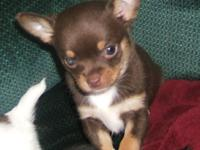 Adorable Chihuahua puppies - See Cudlpupy.com for more