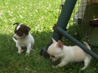 Chihuahua puppies 1 females, 5 males all smooth coated