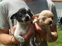 I have a liter of chihuahua puppies ready for their new