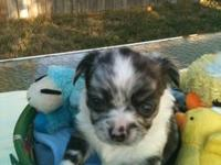 We have 2 awesome male chihuahua puppies available now