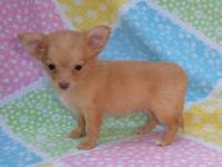 TWO ADORABLE MALE CHIHUAHUA PUPPIES 8 WEEKS OLD. ONE
