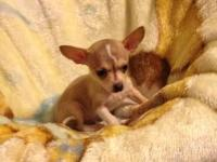 Two chihuahua puppies ready for new homes. Two