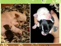 2 male Chihuahua pups will be ready end of February