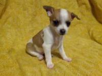 3 beautiful purebred chihuahua puppies for sale. Two