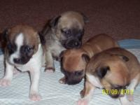 I have 4 Chihuahua puppies 2 females and 2 males , born