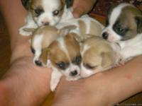 Adopting out 3 cute little Chihuahua puppies, I have 2