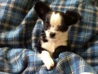 I have a Chihuahua male puppy that is black and white