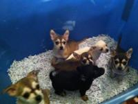 We have 6 beautiful chihuahua babies who are in search