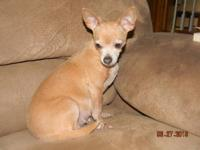 Our Female Purebred Chihuahua Is due around the 2nd