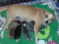 We have six chi puppies that will be ready the first of
