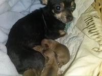 Chihuahua pups are going to be either black fawn or