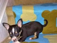 I have chihuahua puppies they will be ready December