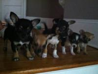cute short hair chihuahua puppies born 7/17/13.(2)males