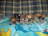6 chihuahua puppies available, 3 females and 3 males.