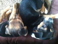 I have 2 beautiful Chihuahua puppies ready to go to