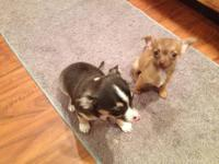We have 3 Chihuahua puppies born September 6, 2013, 1