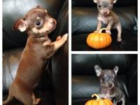 CHIHUAHUA PUPPIES. Ready now 9 weeks, deposit can hold