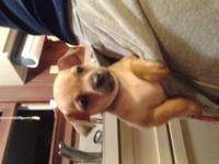 Toy chihuahua puppies for sale 8 weeks old. 1shot and
