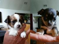 2 male chihuahua puppies that will be ready August