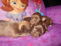 My chocolate smooth layer lady Chihuahua had a clutter