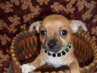 We have AKC, ACA  and Pet Chihuahua ready for their new