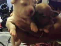 Adorable tiny Chihuahua puppies 3 female 1 male