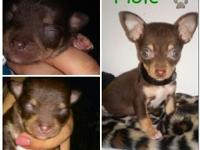 Hi, i have 4 complete bred chihuahua young puppies