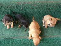 Chihuahua puppies for sale $200 obo, 8 weeks old, 2