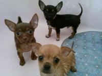 Chihuahua pups $330 each Born 2/2/2015 Ready to go at