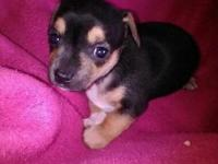 I have 4 Chihuahua puppies needing rehomed. 3 males and