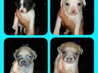 Amazing Chihuahua Puppies for Sale. Please contact me