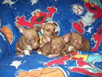 These sweet, lovable & beautiful Chihuahua puppies are