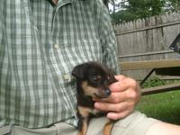 Chihuahua Puppies, cute, playful and healthy with shots