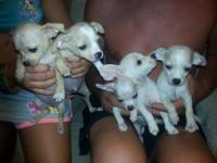 chihuahua puppies ckc registered males and femalesyou