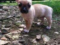 CKC reigistered Chihuahua Puppies. Shots and worming up