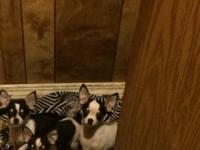 I have three cute chihuahua puppies for sale. They are