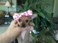 We have 4 female Chihuahua puppies available. They are