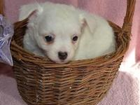 Gorgeous, purebred Chihuahua puppies will be 8 weeks