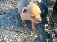 Two full blooded chihuahua male puppies needs a new