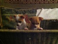 Purebred chihuahua puppies 8 weeks old Oct 10th. They