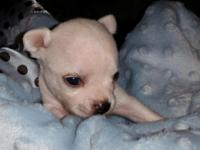 Young litter Chibuahua. Available end of November. Two