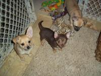 Chihuahua Puppies AKC:REG 2 fawn female's 9wk's old,all