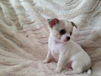 ** Chihuahua Puppies available for sale* SEND TEXT ::